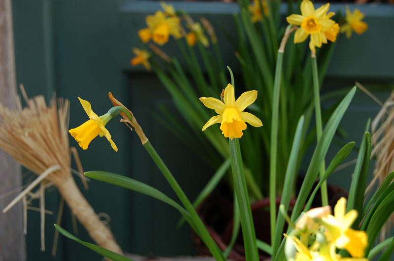 "photo ""narcissus"" tags: nature, flowers"