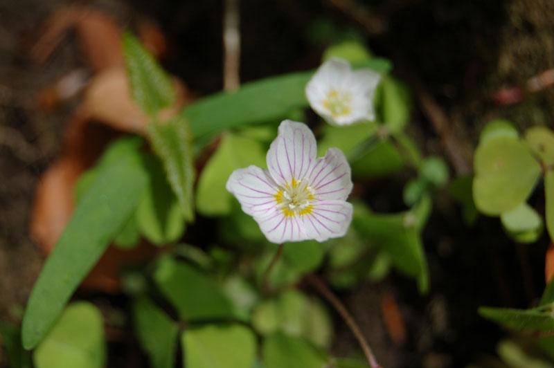 """фото """"первый цветок"""" метки: природа, макро и крупный план, цветы"""