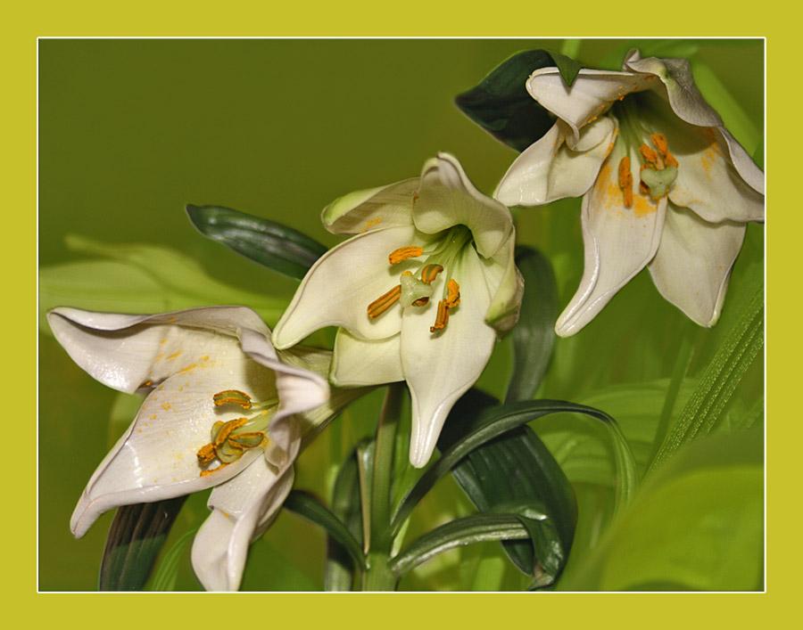 """фото """"Три сестры"""" метки: природа, цветы"""