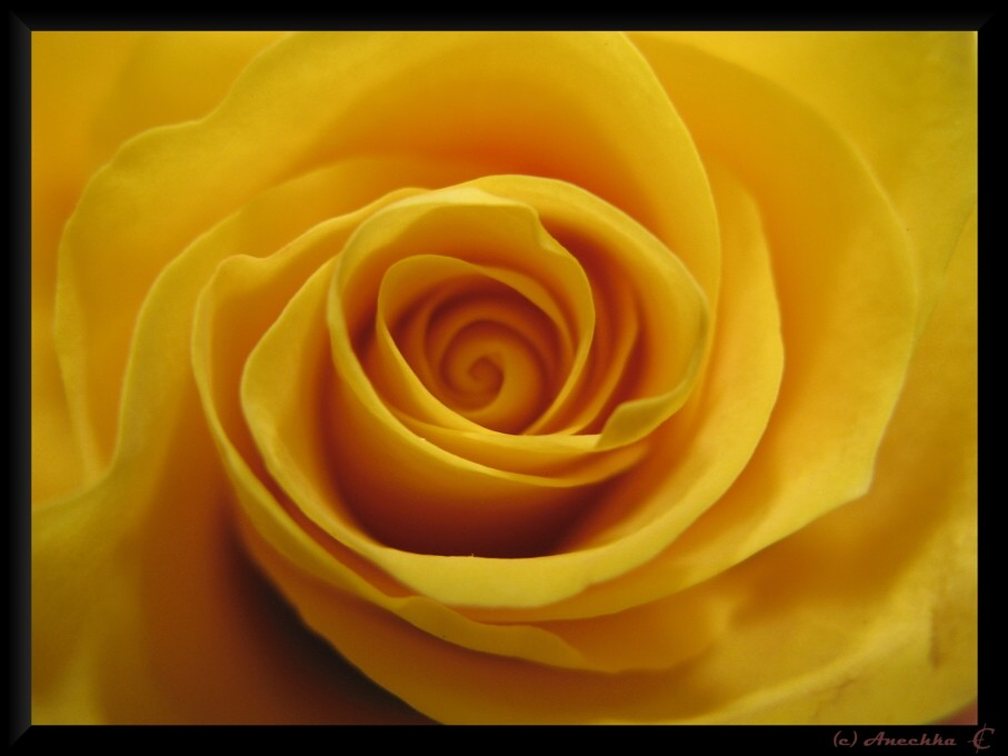 "photo ""velvet rose"" tags: macro and close-up,"