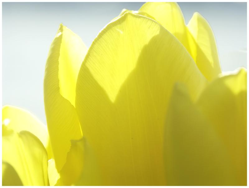 """фото """"Тюльпаны"""" метки: макро и крупный план,"""