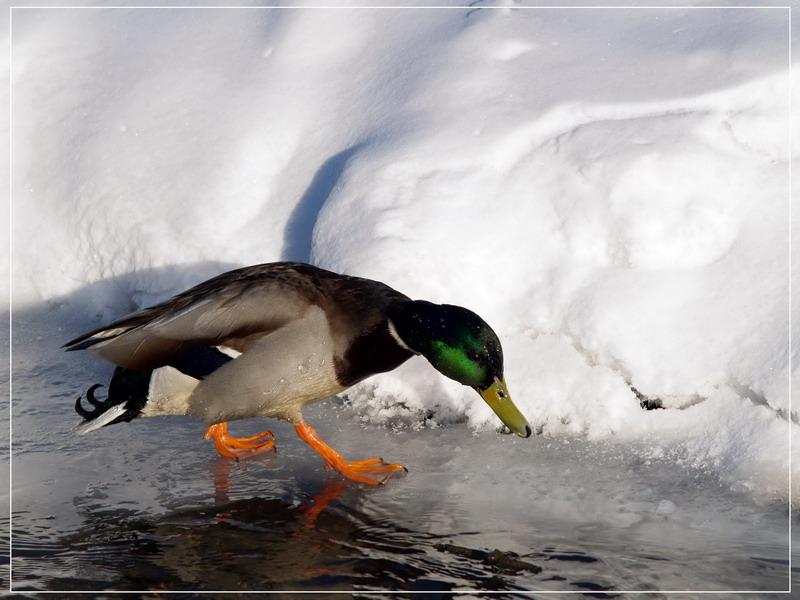 """фото """"Ну вот, кругом вода, а я плавать не научился."""" метки: природа, дикие животные"""