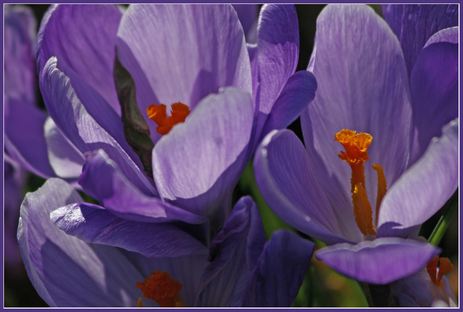 "photo ""Crocus"" tags: nature, macro and close-up, flowers"