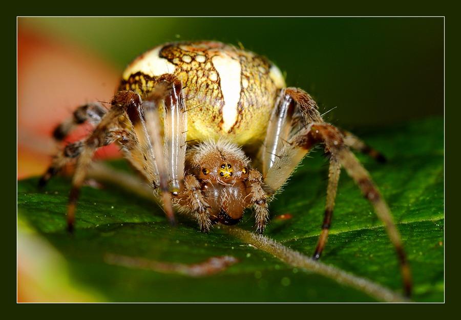 """фото """"Еще один крестовый поход"""" метки: природа, макро и крупный план, насекомое"""