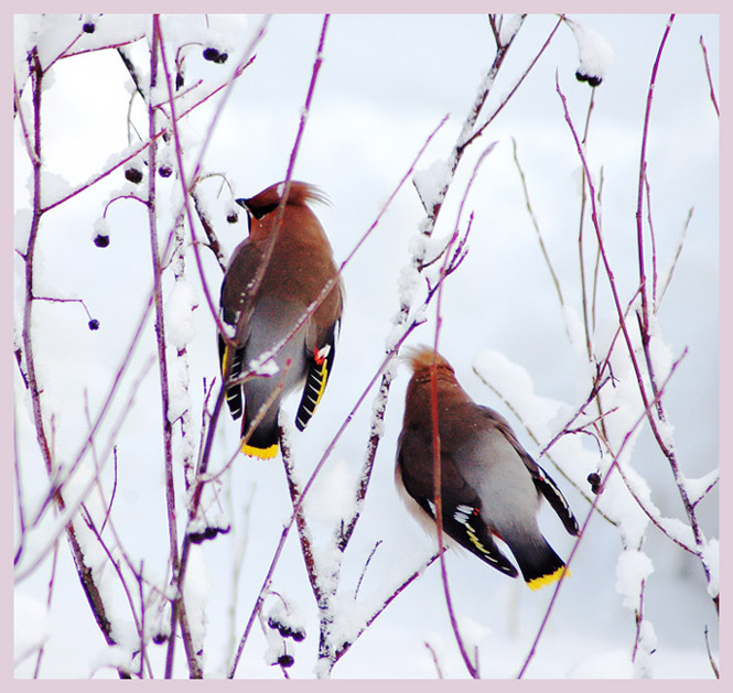 "photo ""Bohemians waxwings"" tags: nature, landscape, wild animals, winter"