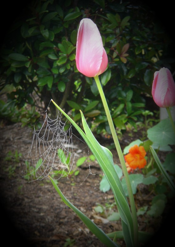 "photo ""A tulip"" tags: nature, flowers"