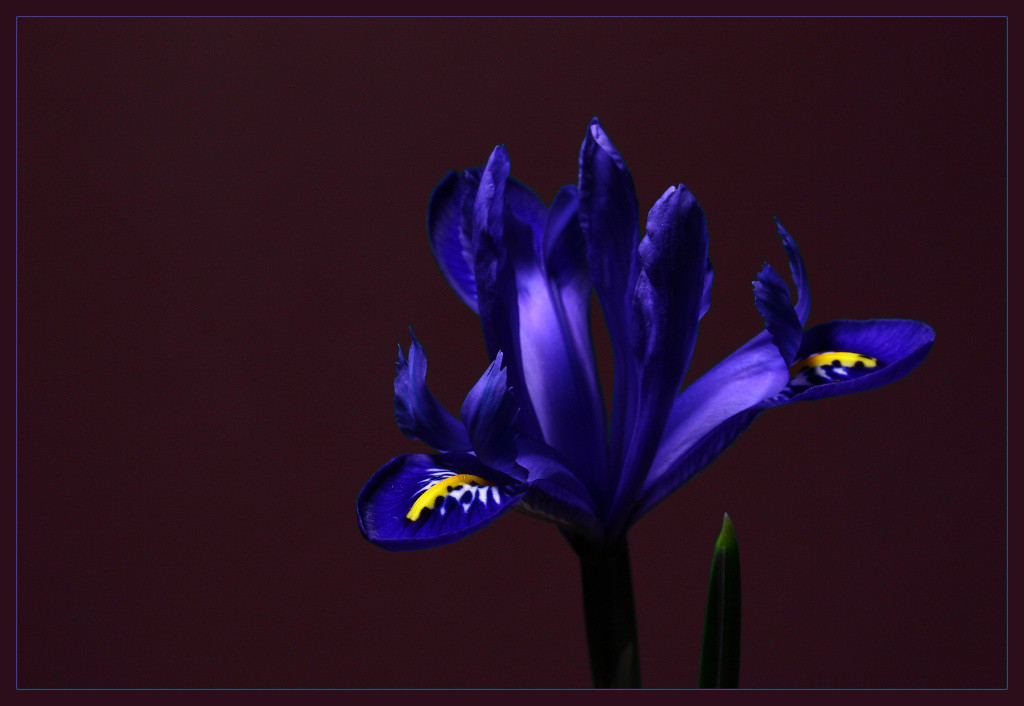 "photo ""Iris"" tags: macro and close-up,"