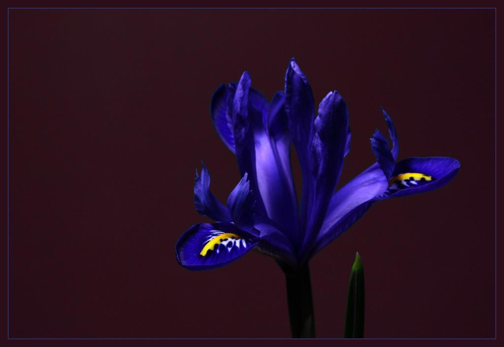 """фото """"Iris"""" метки: макро и крупный план,"""