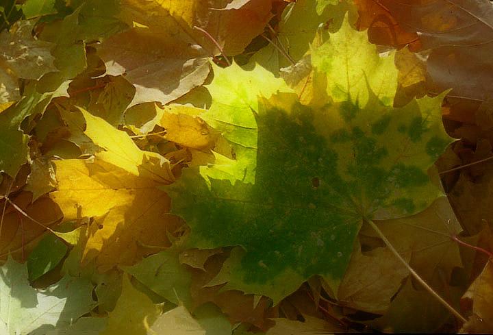 """фото """"Свет осенних листьев.."""" метки: природа, цветы"""