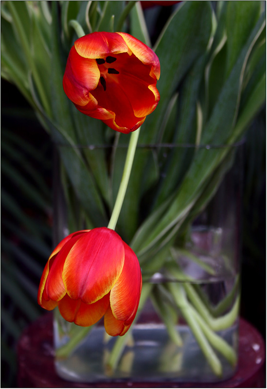 "photo ""Tulp"" tags: nature, flowers"