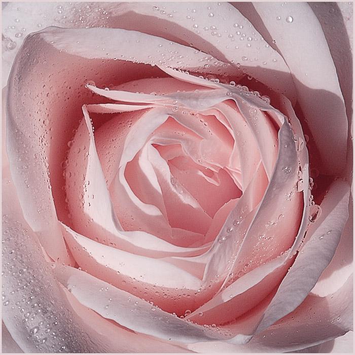 """фото """"Rose"""" метки: природа, макро и крупный план, цветы"""