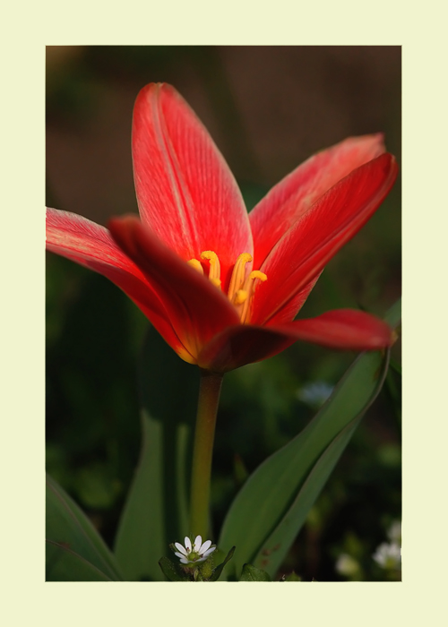 "photo ""Tulip (Am I growing up also)"" tags: nature, flowers"