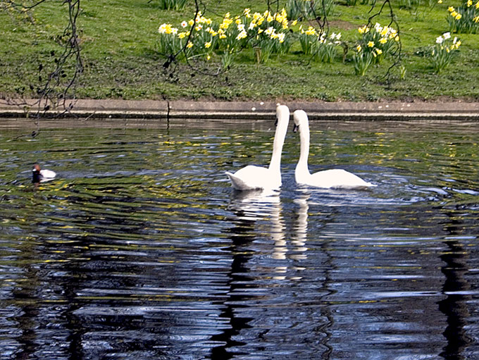 "photo ""Two swans"" tags: nature, pets/farm animals"