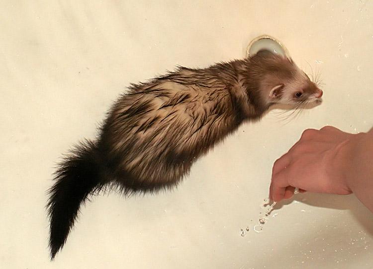 """фото """"My Ferret"""" метки: природа, домашние животные"""