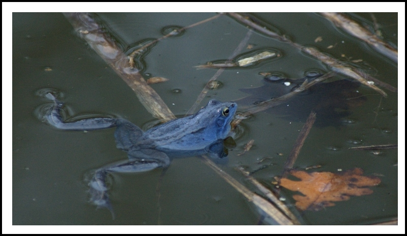 "photo ""blue frog"" tags: nature, wild animals"
