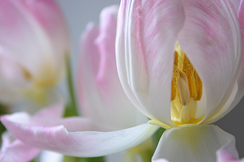 "photo ""The Pink Tulips"" tags: nature, flowers"