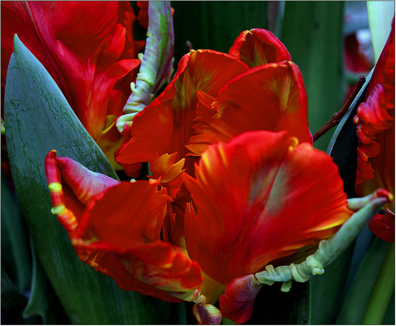 "photo ""Tulp 2"" tags: nature, flowers"