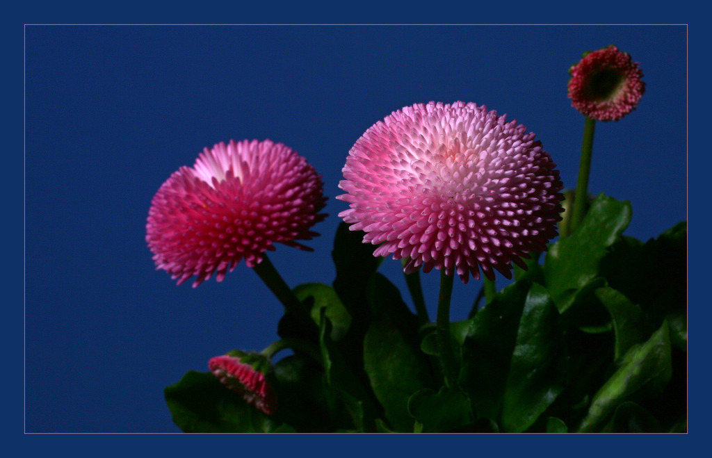 "photo ""Bellis perennis"" tags: macro and close-up, nature, flowers"