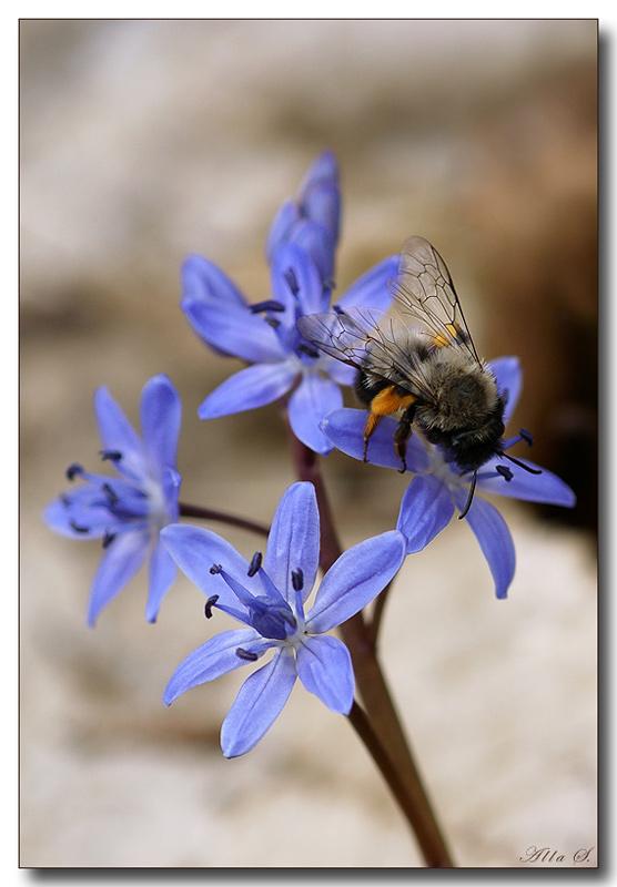 """фото """"Весна...."""" метки: природа, насекомое, цветы"""
