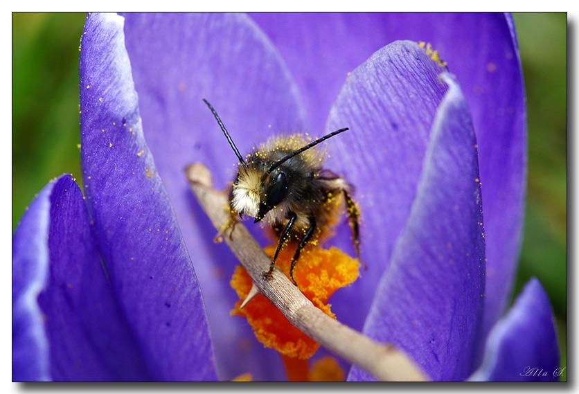 """фото """"С дубинкой охраняет пыльцу :-)"""" метки: природа, макро и крупный план, насекомое"""