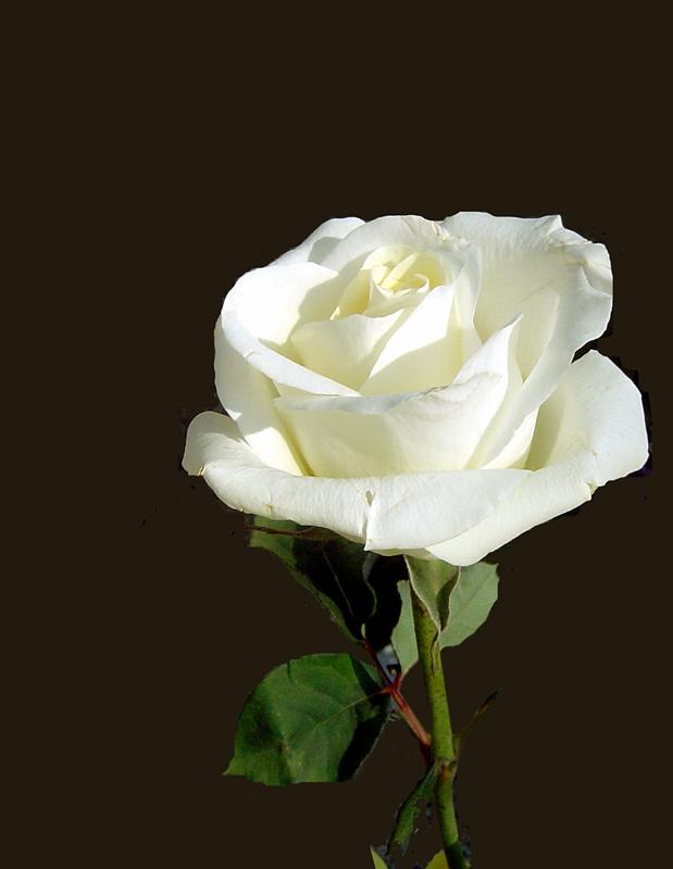 """photo """"La Vie an Rose"""" tags: macro and close-up,"""