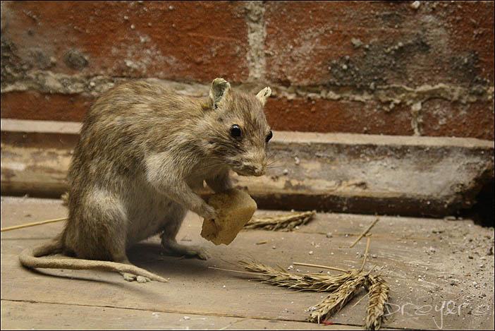 "photo ""Rats"" tags: nature, pets/farm animals, wild animals"