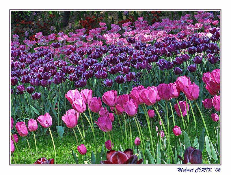 "photo ""tulips"" tags: landscape, spring"