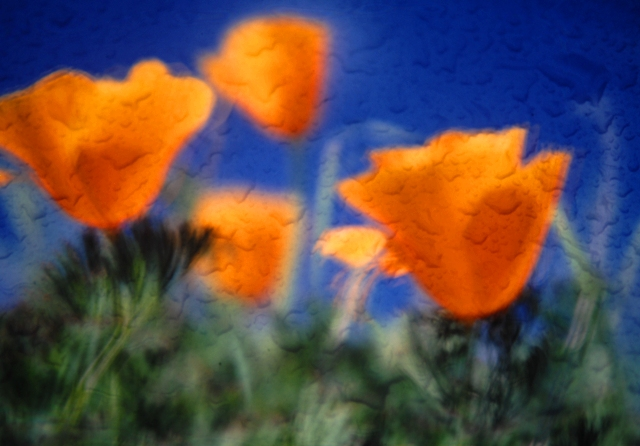 "photo ""Impressions - California Poppies"" tags: nature, abstract, flowers"