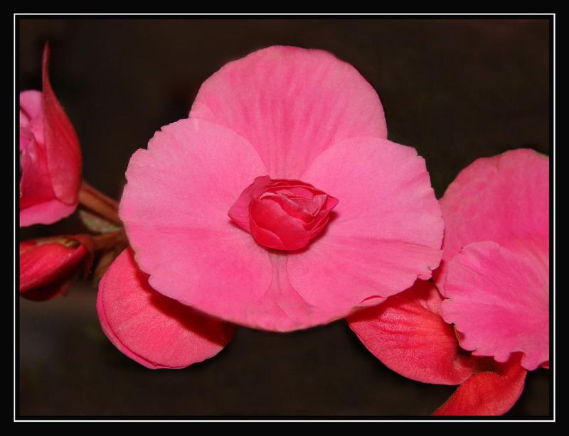 """фото """"Розовая романтика"""" метки: природа, цветы"""