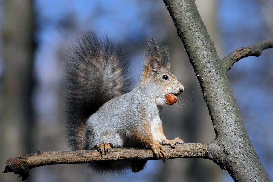 "photo ""A squirrel who squirrels away"" tags: nature, wild animals"