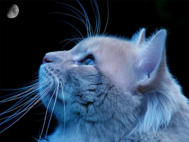 "photo ""BLUE CAT"" tags: nature, wild animals"