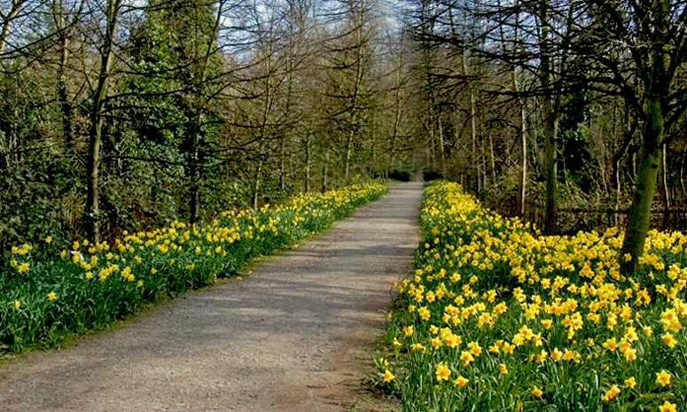 "photo ""Daffodil Walk"" tags: landscape, spring"