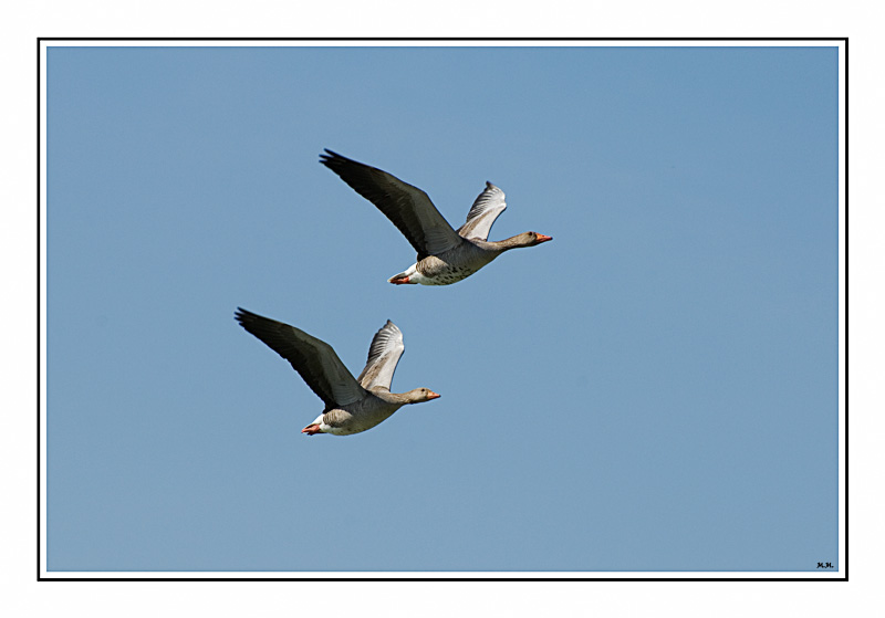 "photo ""Goose flight"" tags: nature, wild animals"