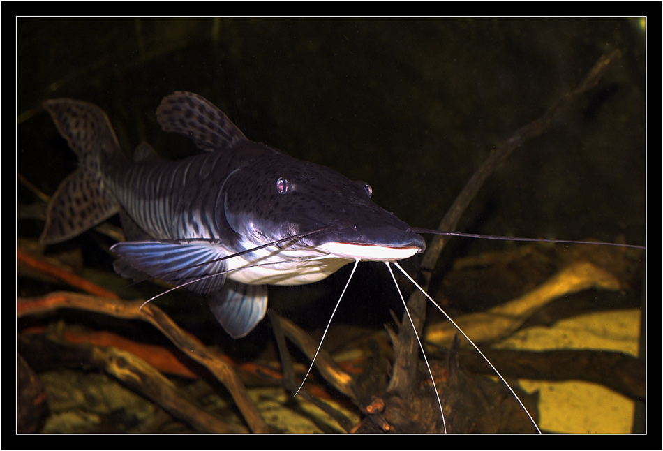 "photo ""the monster sheat-fish"" tags: nature, wild animals"