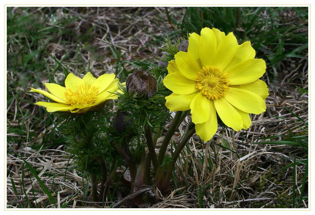 "photo ""Adonis vernalis"" tags: macro and close-up, nature, flowers"