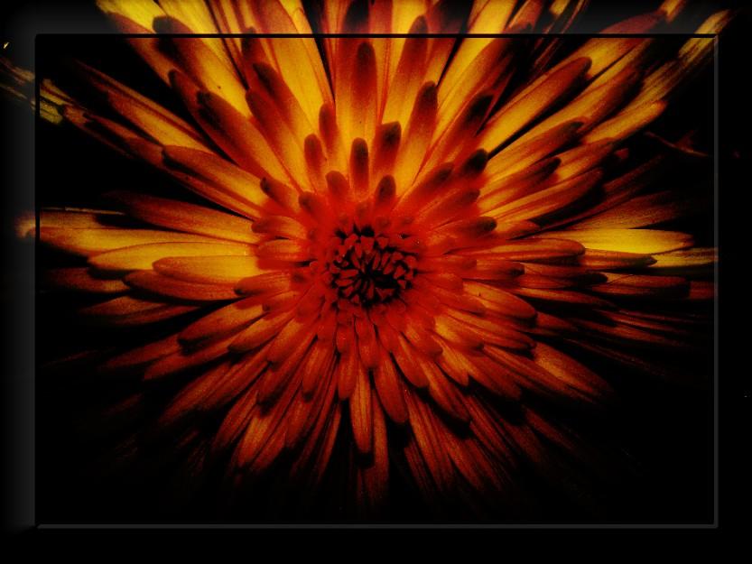 """фото """"Огненная хризантема"""" метки: природа, цветы"""