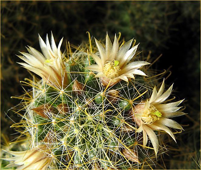 """фото """"Маммиллярия"""" метки: природа, макро и крупный план, цветы"""