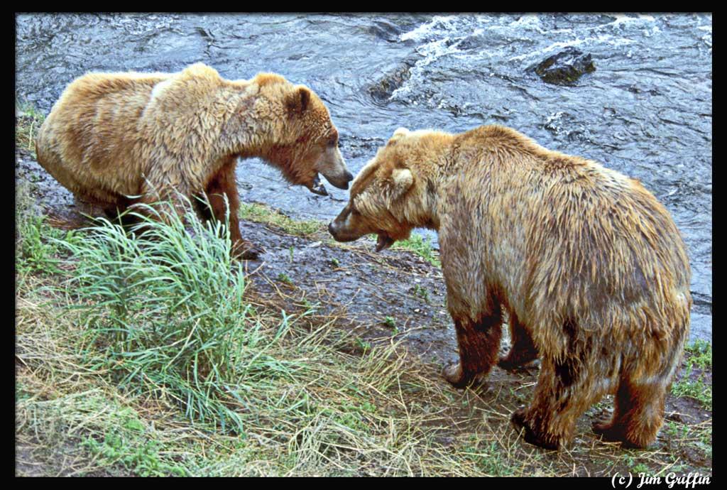 "фото ""The confrontational bears"" метки: природа, дикие животные"