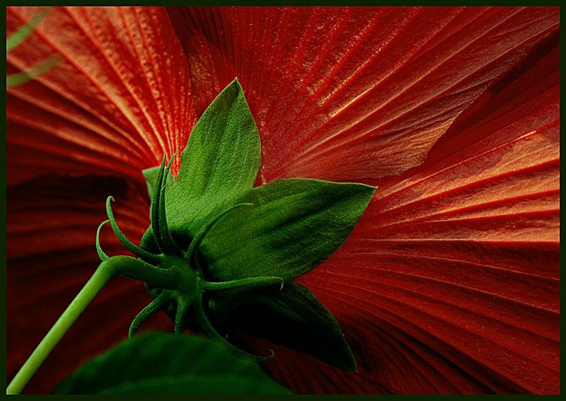 """фото """"Алые паруса"""" метки: природа, макро и крупный план, цветы"""