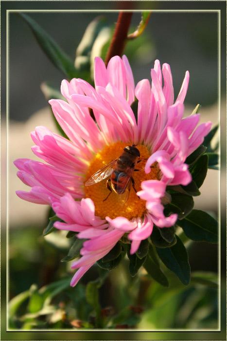 """фото """"Пчела"""" метки: природа, макро и крупный план, насекомое"""