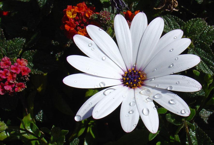 """фото """"02431.2 Margarita"""" метки: природа, цветы"""