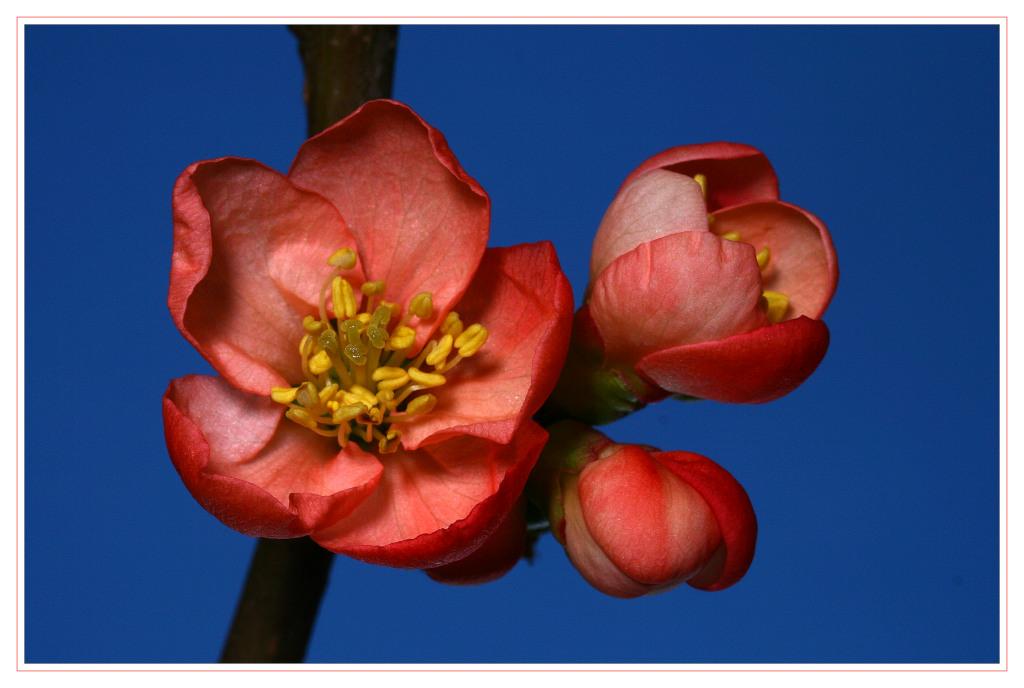 """фото """"Quitte"""" метки: макро и крупный план, природа, цветы"""
