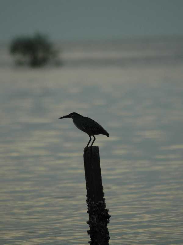 "photo ""bird and mangrove"" tags: nature, wild animals"
