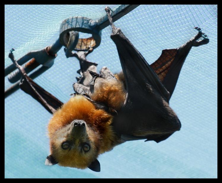 """фото """"Летучая мышь"""" метки: путешествия, природа, Азия, дикие животные"""