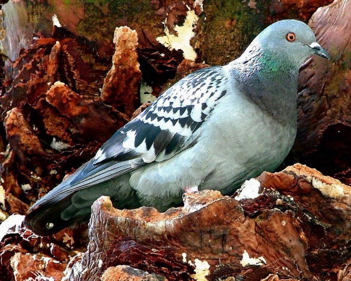 """фото """"Pigeon"""" метки: природа, домашние животные"""