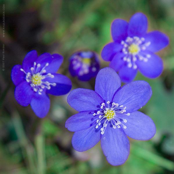 """фото """"Подснежник (Печёночница Благородная)"""" метки: природа, макро и крупный план, цветы"""