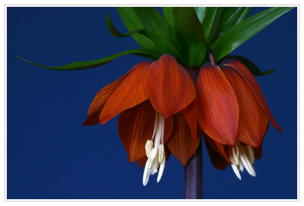 "photo ""Fritillaria imperialis"" tags: macro and close-up, nature, flowers"