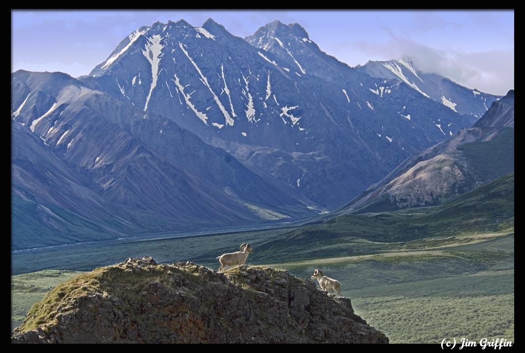 """фото """"Dall sheep in Denali National Park"""" метки: природа, пейзаж, горы, дикие животные"""