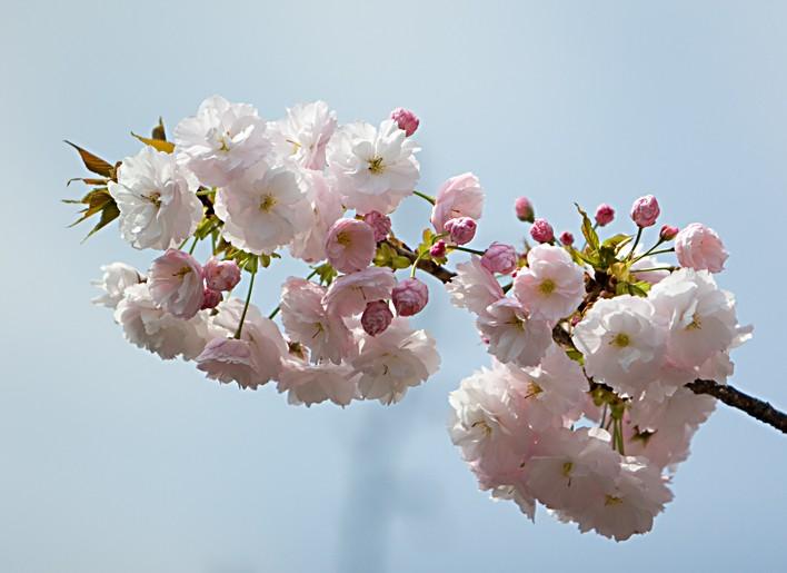 """фото """"Sakura Japan"""" метки: природа, цветы"""