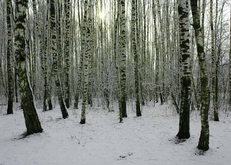 """фото """"Русские березы"""" метки: пейзаж, весна, зима"""